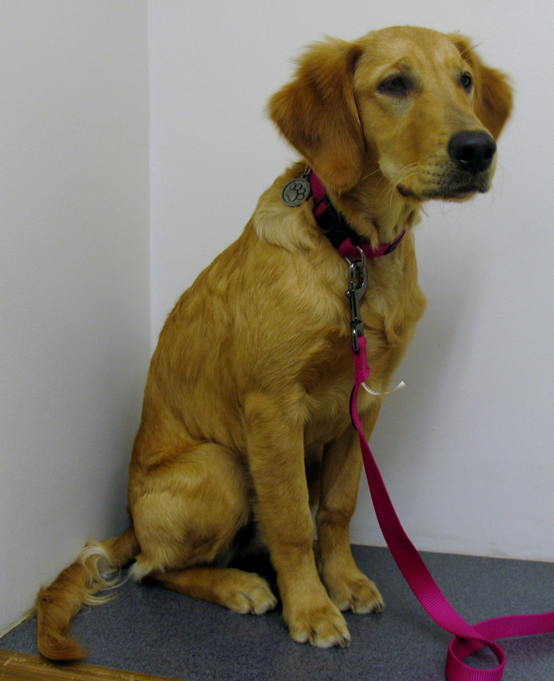 jewel 5 month golden retriever   fountain inn animal